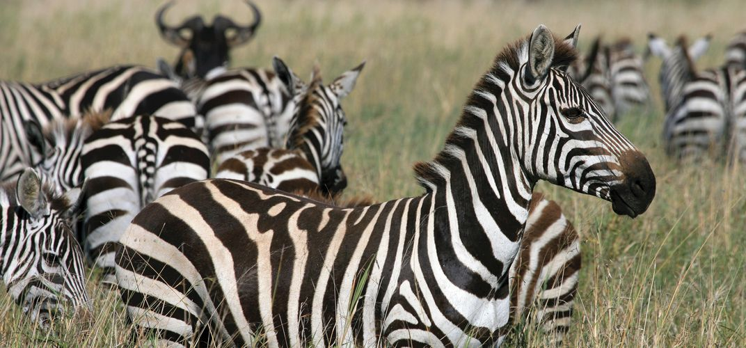 Herd of zebra