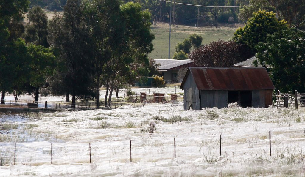In 2012, spider webs surround a house in Wagga Wagga, Australia. The phenomenon, called