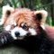A red panda staring into the distance