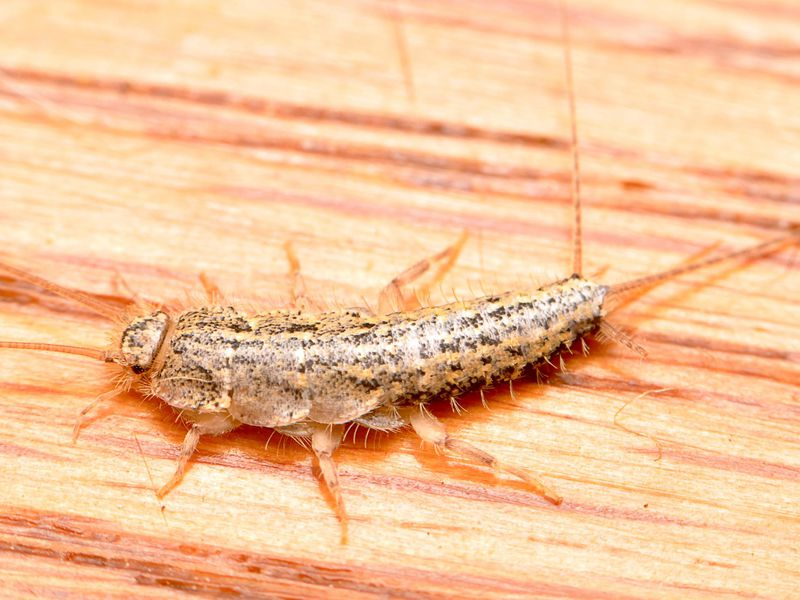 silverfish four lined.JPG