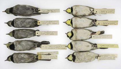 Sooty Bird Feathers Reveal a Century of Coal Emissions History