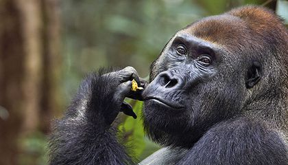 Rare and Intimate Photos of a Gorilla Family in the Wild