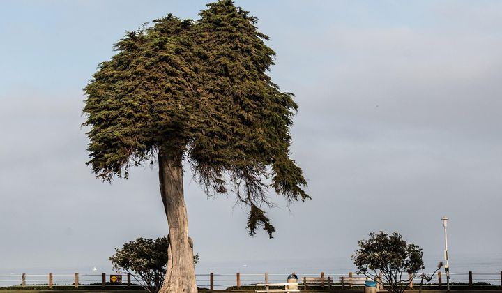 La Jolla's 'Lorax' Tree Has Fallen