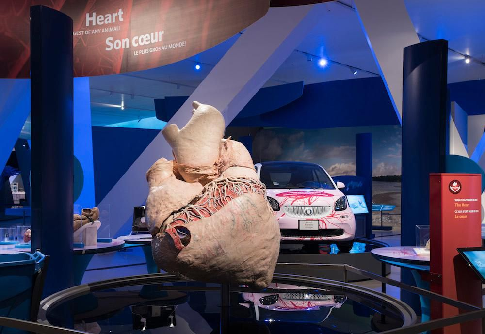 The Painstaking Process of Preserving a 400-Pound Blue Whale Heart