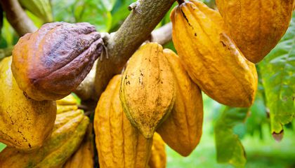 How Hawaii Became the North Pole of Cacao