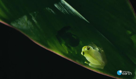 Preview thumbnail for video' Fascinating: How Transparent Glass Frogs Mate and Raise Their Young