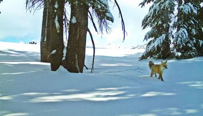 For the First Time in Almost a Century, a Rare Red Fox Was Seen at Yosemite