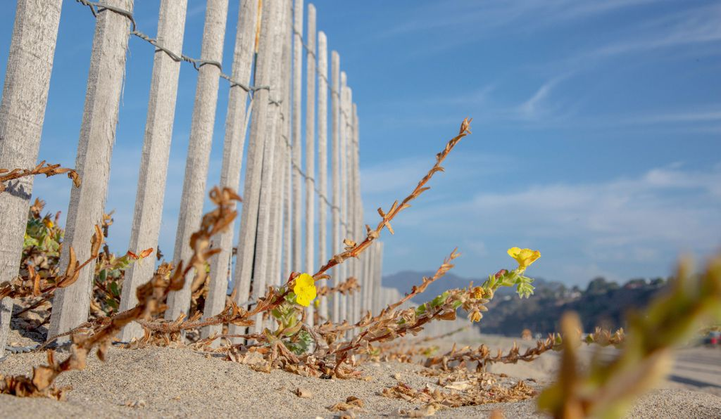 On one stretch of the Santa Monica State Beach, a fence has been erected to rewild the region. The project started two years ago, and today, beach evening primrose is thriving.