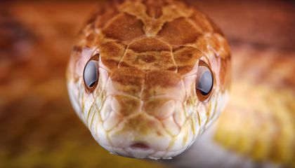 In Microgravity, Some Snakes Tie Themselves in Knots, Others Attack Themselves