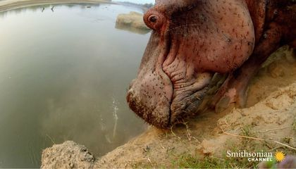 Hippo Climbs Down a Steep Cliff...With Difficulty