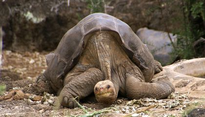 Lonesome George the Giant Tortoise's DNA Reveals Cancer-Fighting and Longevity Genes