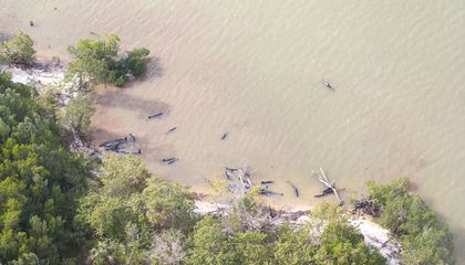 Scores of Dolphins Are Stranded in the Everglades