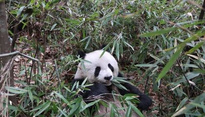 Bamboo Is Basically 'Fake Meat' for Giant Pandas