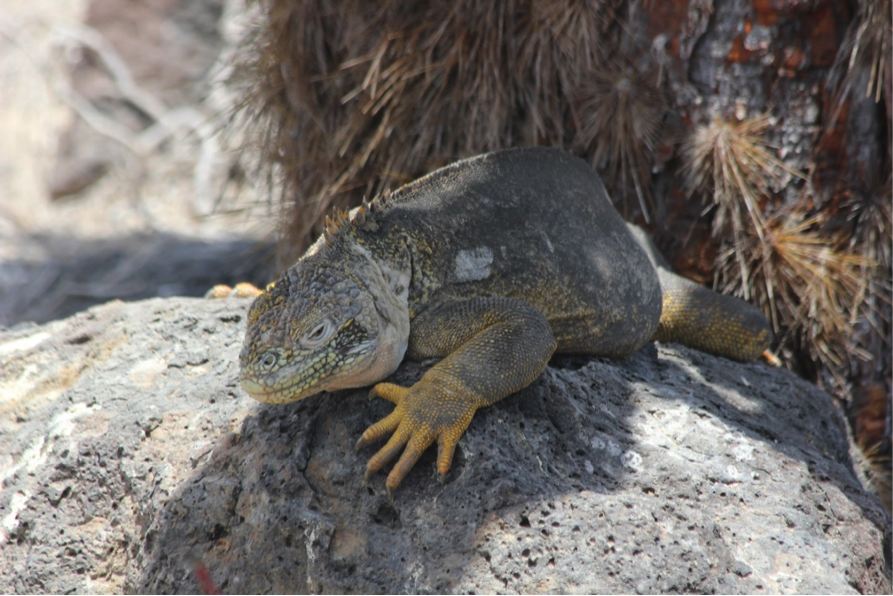 A Galapagos Hybrid Iguana stays cool by sticking to the shade.