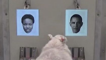 Image: Sheep can recognize Baaaa-rack Obama's face, new study shows