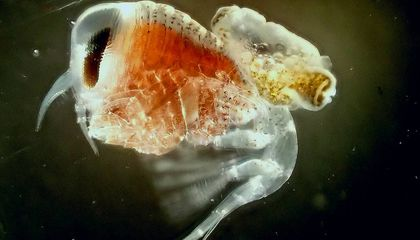Kidnapper Crustaceans Use Tiny Mollusks as Unwitting Shields