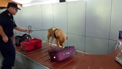 In China, Airport Sniffer Dogs Hunt Down Illegal Wildlife Products