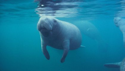 Florida's Manatees Are Dying at an Alarming Rate
