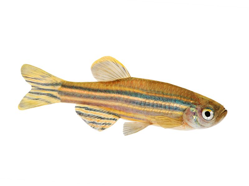 Could The Tiny Zebrafish Teach Us To Cure Blindness