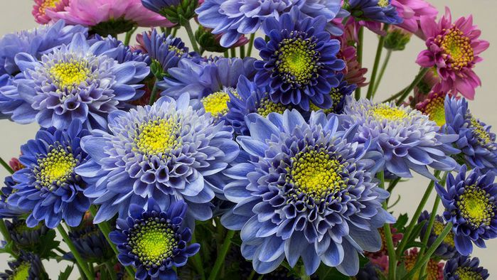 Blue chrysanthemums (Science Advances)