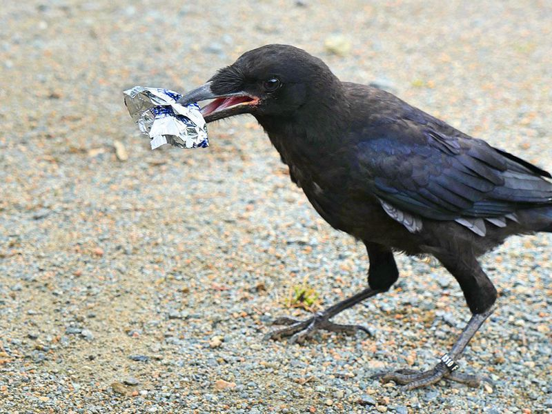 Image result for deployed crows for cleaning park