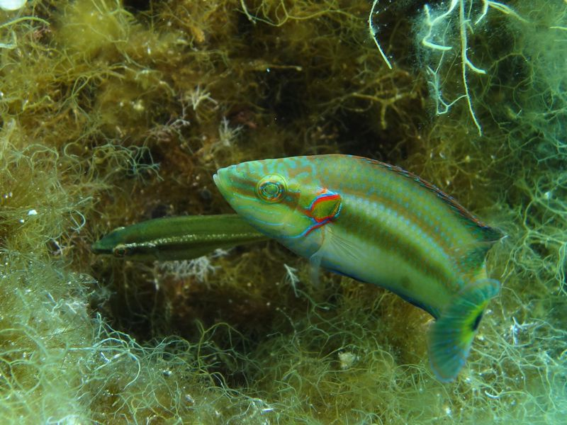 Give it Up, Sneaky Males: These Lady Fish Have You Outwitted