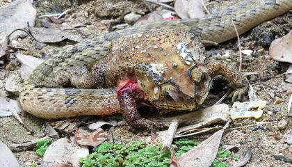 This Snake Slurps Organs of Living Toads in Grisly Feeding Strategy