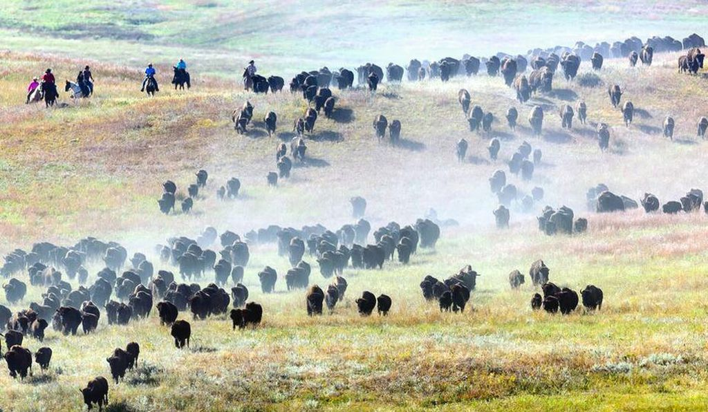The bison are rounded up as part of the park's management plan to maintain a healthy population that can be supported by the available forage area.