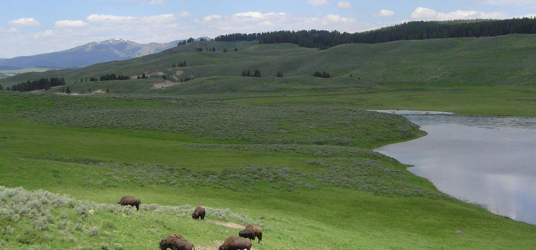 Bison grazing in Lamar Valley, Yellowstone National Park. Credit: Patrick Wagner
