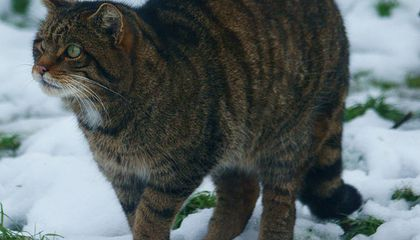 Scottish Wildcats Are Interbreeding Themselves Into Extinction