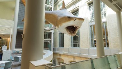 The Smithsonian National Museum of Natural History's megalodon model is a 52-foot-long female based on a set of teeth discovered in the Bone Valley Formation in Florida. (Smithsonian Institution)
