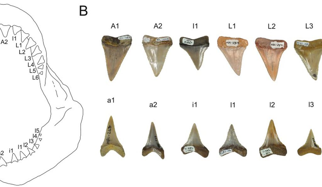 Some of the prehistoric great white shark teeth studied by researchers