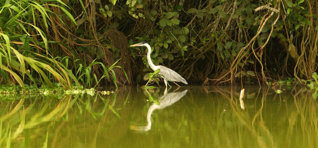 Egret as seen along the Amazon River