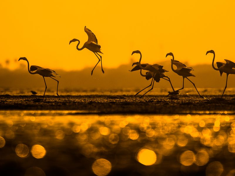 This is Pulicat Lake, which is the second largest lagoon in India. Every year thousands of flamingos visit this place. I spent eight hours photographing these birds at this place, and this was the image I made when the sun was setting. I spent almost six hours shooting these birds sitting in the water with my camera on an icebox to get low angle perspective and the sun reflecting off the water.