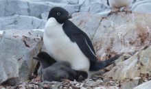 Climate Change Could Devastate Penguin Populations by Century's End