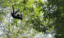 How Fast Can Gibbons Swing Through the Forest?