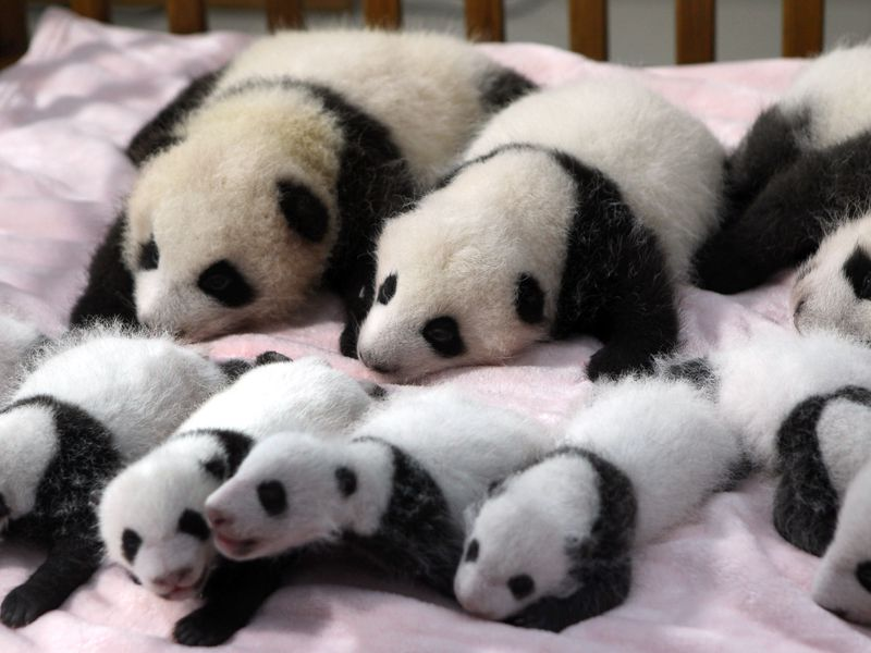 Baby Panda Triplets Born In Chinese Zoo Smart News Smithsonian Magazine