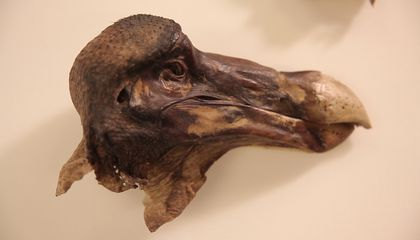 Murder Most Fowl: Forensic Scan Shows the Legendary Oxford Dodo Was Shot