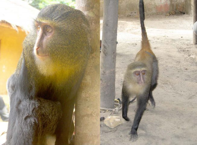 A male, left, and a female, right, of the new monkey species.