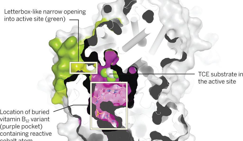 Using X-ray crystallography, researchers have shown that certain types of bacteria take in toxic organohalides through a thin water-resistant slit (green) and contain it in a pocket (purple) containing vitamin B12, which separates the halogen atoms, thus reducing or neutralizing toxicity. (Science)