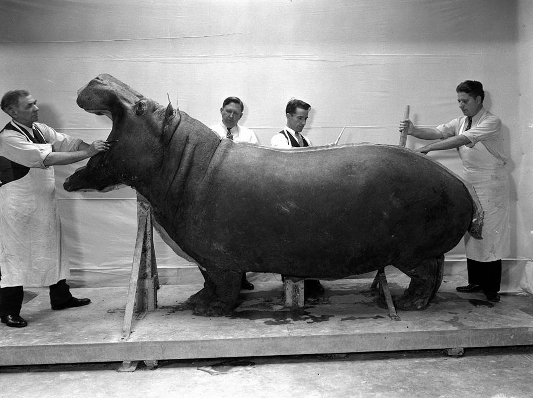 The History And Future Of Once Revolutionary Taxidermy Diorama So How Does It Work Mothods In Hipposessionfactory Taxidermists Julian S Warmbath Charles R Aschemeier Watson M Perrygo William L Brown On Mounting A Hippopotamus For Exhibition United