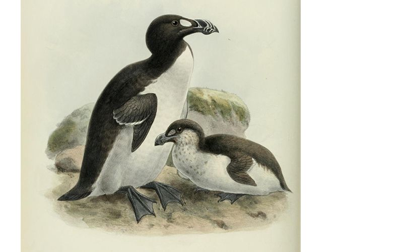 When the Last of the Great Auk...