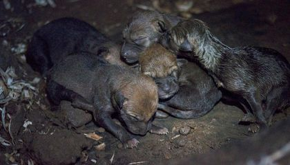 Endangered Red Wolf Pups Born in Durham