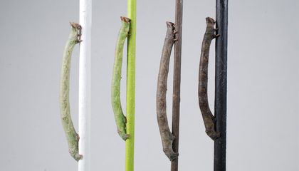 These Caterpillars Can Detect Color Using Their Skin, Not Their Eyes