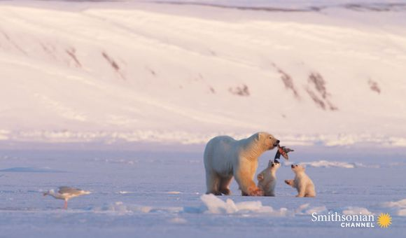 Preview thumbnail for video'A Chance Encounter With a Polar Bear and Her Two Cubs