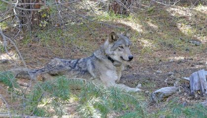 After an 8,700-Mile Journey, an Endangered Gray Wolf Is Found Dead