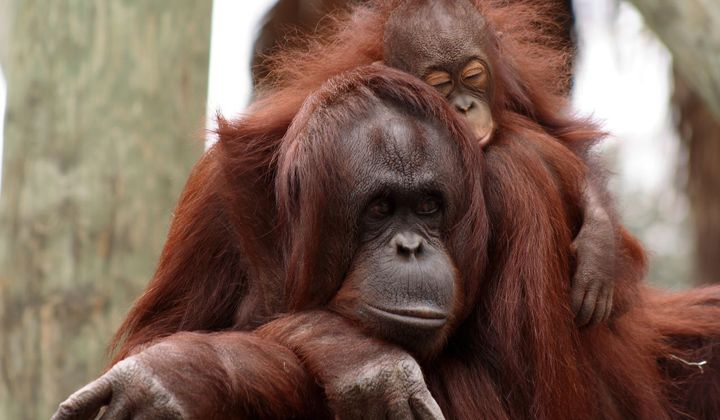 Wild Orangutans Can Breastfeed for Eight Years