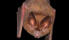 Bats Use Leaves as Mirrors to Locate and Catch Their Prey