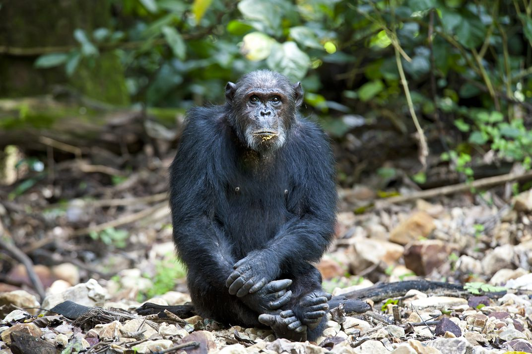A chimpanzee in Gombe National Park.