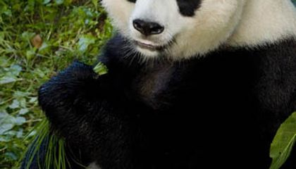 Mei Xiang is Artificially Inseminated and Now the Wait Begins